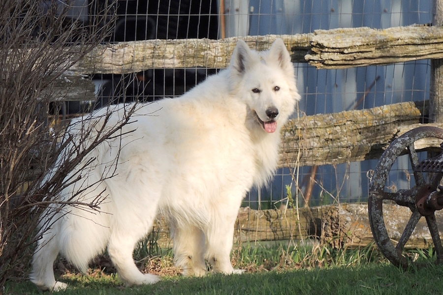 Andega Shepherds Berger Blanc Suissewhite German Shepherds